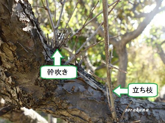 の 剪定 の 梅 木