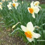 水仙は咲いているけどおしゃれな庭には程遠い 落ち葉の片づけから始めよう