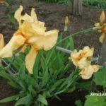 ジャーマンアイリス花後の管理 育てるのは子どもも花も同じなのだ