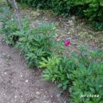 立たないシャクヤク きたない花びら 曲がった茎でどうしよう