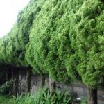 これから庭造りをする方へ 私なら絶対に庭に植えないカイヅカイブキの剪定