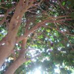 長年たい積した椿の木の下の枝葉を撤去する 時代の流れに合わせた生き方を