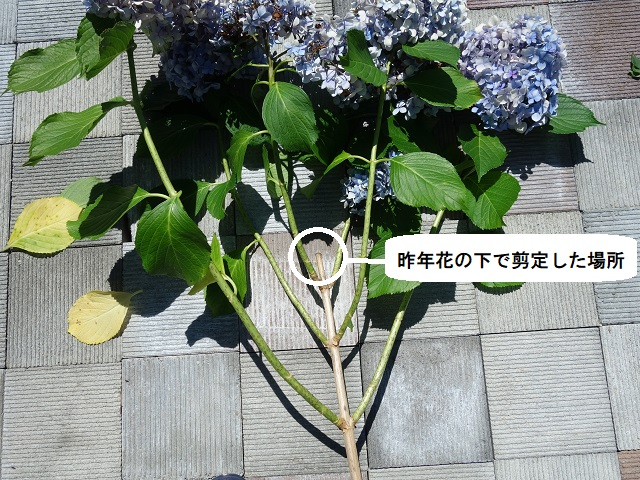 剪定 の 仕方 紫陽花