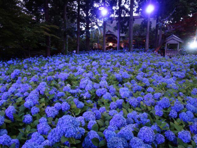あじさい うん しょうじ の 男鹿半島の青に染まった楽園「雲昌寺のあじさい」